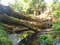 Before: Large downed tree constricting flow along the Napa River.